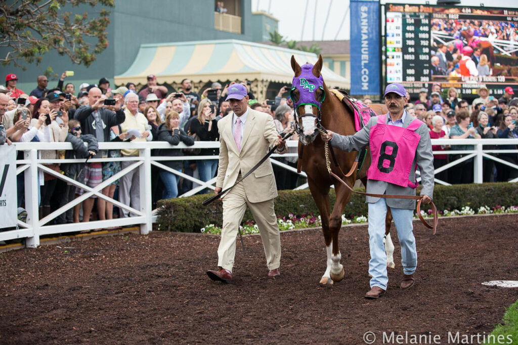California Chrome in Paddock at Santa Anita Park