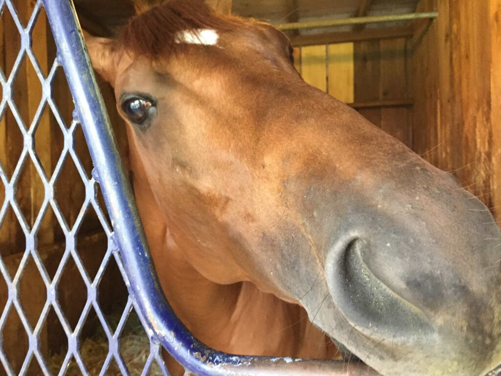 Governor Malibu liking the camera at the Clement Saratoga Barn (Photo: Michael Spector)